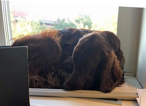 Paddy ligger i fönstret